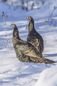 Two eastern wild turkeys in the snow