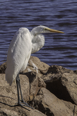 Great White Egret in Parker Island Wildlife Refuge