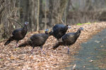 Four eastern wild turkeys about to cross the road
