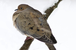 Mourning dove sitting on a branch in the winter