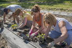 Volunteers planting eggplant at the Community Harvest Project in North Grafton, MA
