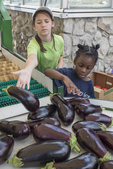 Volunteers sorting out eggplant for shipment