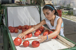 Young volunteer putting tomatoes through the washer