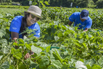 People working in a large vegetable garden