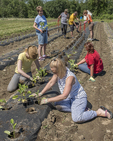 Volunteer farmers planting eggplant at the Community Harvest Project in North Grafton, MA