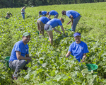 Volunteer farmers at the Community Harvest Project in North Grafton, MA