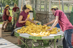 Farm workers washing and then packing up summer squash for market