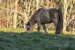 A mini horse grazes in the late afternoon