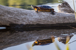 A painted turtle sits on a log in the Tully River, Royalston, MA