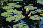 Lily pads in Tully River in Royalston, MA