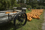 Pumpkins for sale at Red Apple Farm in Phillipston, MA