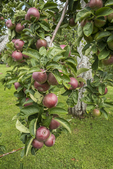 Apples ready to be picked at Red Apple Farm in Phillipston, MA