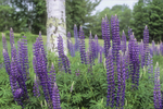 Wild lupine growing in New Hampshire