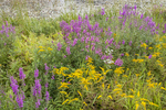 Goldenrod and purple loosestrife