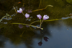 Purple bladderwort in the Tully River in Royalston, MA