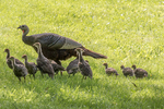 Wild turkey and a flock of chicks
