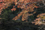 Autumn leaves hang over the Millers River