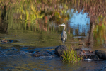 A Great Blue Heron in the Millers River in Royalston, MA