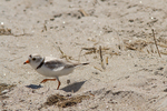 Piping plover at Crane Beach, Ipswich, MA