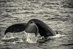 Humpback Whale off of Cape Cod, Massachusetts