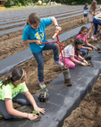 Young people volunteering at a farm that grows vegetable for a food coop. They are planting vegetables