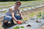 Planting vegetable seedlings in a large market garden