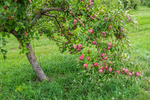 Apple tree at an orchard in Harvard, MA