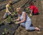 Farm workers planting vegetable plants