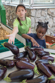 Farm workers washing and sorting eggplant