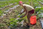 Farm workers harvesting vegetables