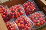 Just picked tomatoes packaged and ready for sale