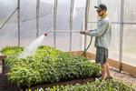 farm worker watering plants in a greenhouse