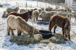 Mini horses eating hay on a winter day