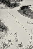Fox tracks at Stone Bridge Pond in Templeton, MA