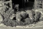 Farmer feeding hay to her merino sheep