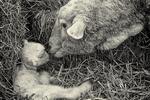 Ewe with her newborn lamb