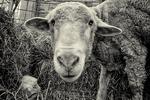 Merino ewe with a newborn lamb