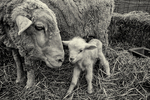 Newborn lamb with her mother