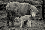 Newborn lamb feeding