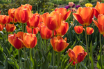 A garden full of tulips