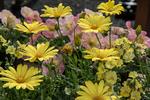 Yellow daisies and petunias