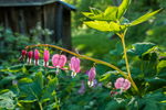 Bleeding hearts and an old shed