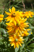 Yellow rubeckia flowers
