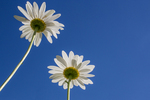 White field daisies against a bright blue sky