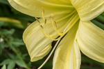 A yellow day lily