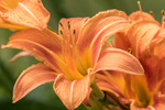 An orange day lily