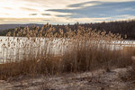 Phragmites grass growing at the edge of the Quabbin Reservoir at the end of Gate 33 in New Salem, MA