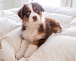 An Australian Shepherd puppy on a down puff blanket