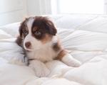 An Australian Shepherd puppy on a down puff blanket