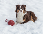 An Australian Shepherd playing with a red ball in the snow